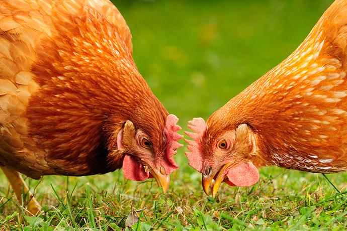 Fermente Edilmiş Vişne İç Çekirdeğinin Etlik Piliçlere Etkileri